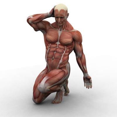 איור שרירים בגוף האם - תמונה: freedigitalphotos